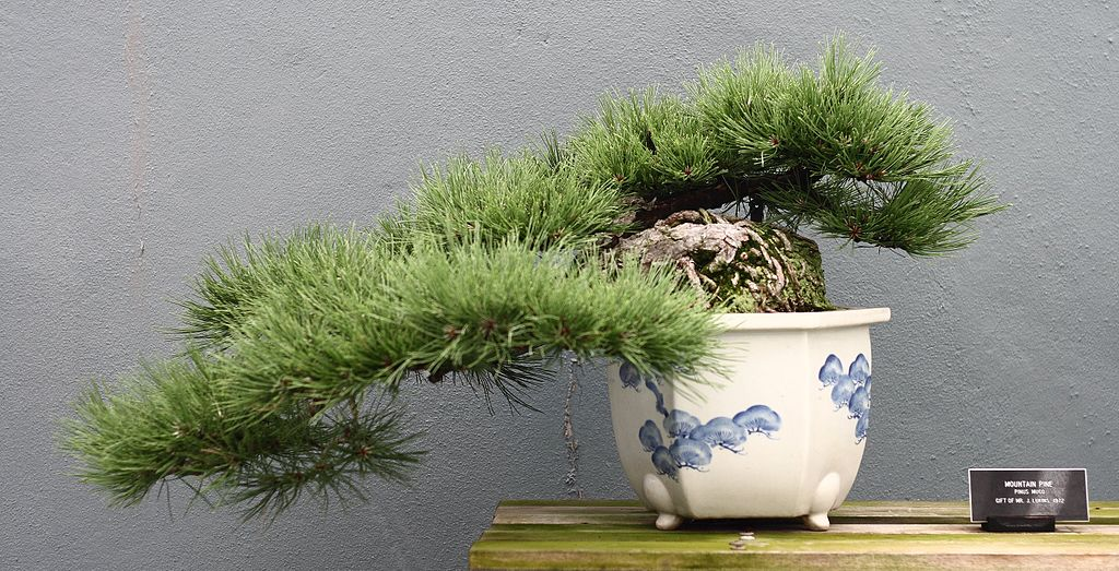 bonsai botanic