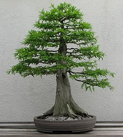 bonsai cedre