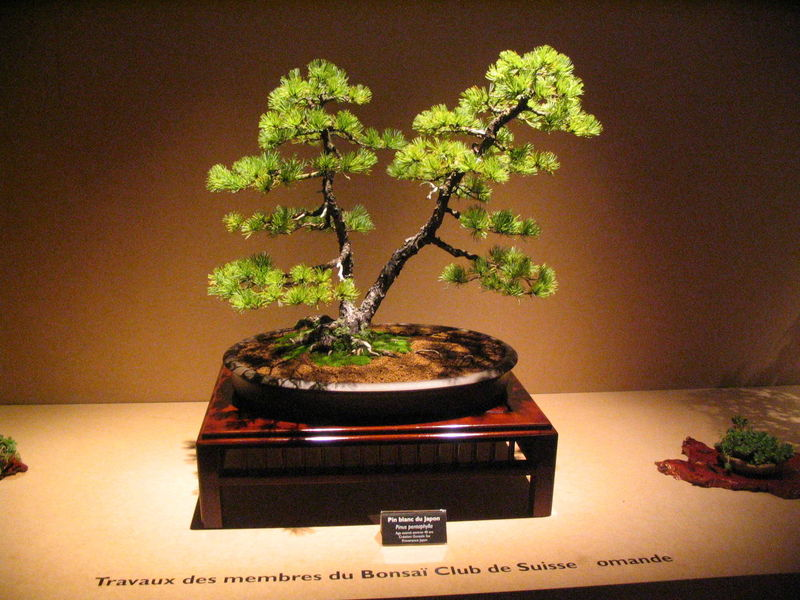 bonsai erable rouge
