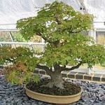 Chene Bonsai