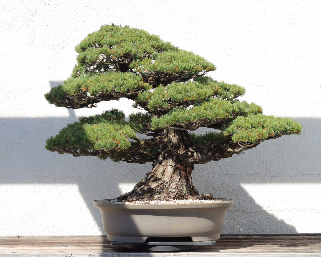 pot a bonsai