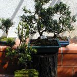 Terreau Bonsai